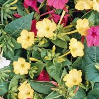 Four o'clock (Mirabilis) - Flower seeds Seeds • Tuinzaden.eu