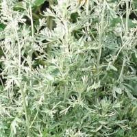 Absint-Alsem - Kruidenzaden Zaden kopen? Tuinzaden.eu