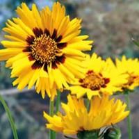Meisjes Ogen (Coreopsis) - Flower seeds Seeds • Tuinzaden.eu