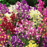 Toadflax (Linaria) -   Flower Seeds