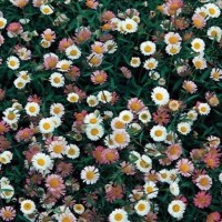 Fijnstraal (Erigeron) - Flower seeds Seeds • Tuinzaden.eu