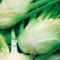 Knolvenkel - Knol en wortelgroente Groentezaden kopen? Tuinzaden.eu