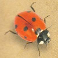 Ladybug Flower Mixture - Flowermixtures Large - Other Seeds