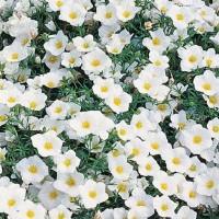 Cup Flower -   Flower Seeds