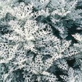 Dusty Miller (Cineraria)