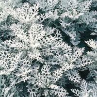 Dusty Miller (Cineraria) -   Flower Seeds