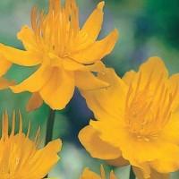 Globe Flower -   Flower Seeds