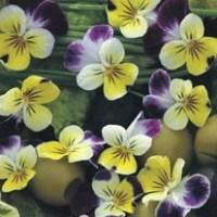Eetbare Bloemen - Overige Zaden Overige kopen? Tuinzaden.eu