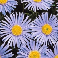 Aster Alpinus - Flower seeds Seeds • Tuinzaden.eu