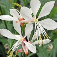 Gaura - Flower seeds Seeds • Tuinzaden.eu