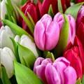 Flowerbulbs - spring
