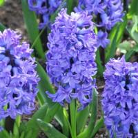 Hyacinten - Bloembollen Overige kopen? Tuinzaden.eu