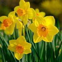 Narcissen - Bloembollen  voorjaar Overige kopen? Tuinzaden.eu