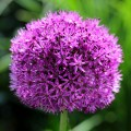 Sieruien - Alliums