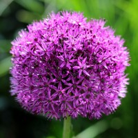 Alliums - Flowerbulbs  spring Other • Tuinzaden.eu