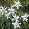 Overige bloemzaden