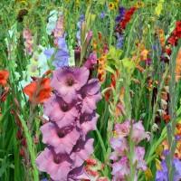 Gladioli - Flower bulbs  summer Other • Tuinzaden.eu