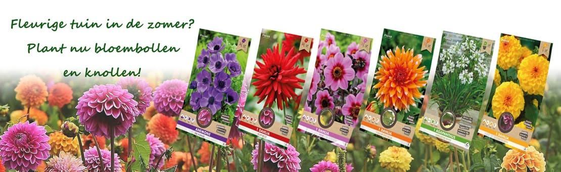 plant nu zomerbloembollen dahlia's anemone agapanthus calla gladiolen